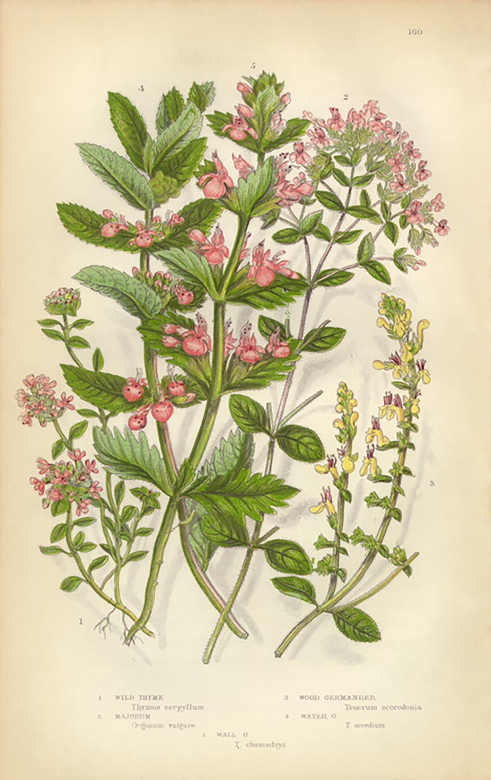 herbs-to-help-your-health-thyme